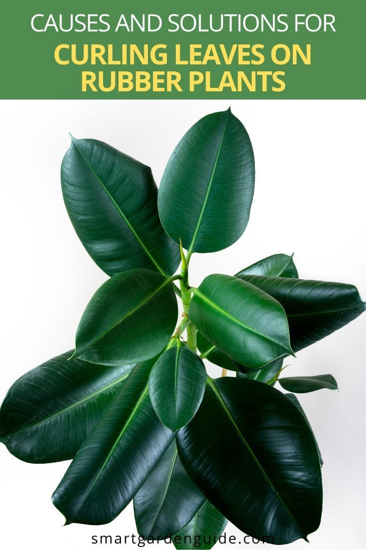 Why Are My Rubber Plant Leaves Curling And How To Fix It Smart Garden Guide Rubber Plant Rubber Tree Plant Plant Leaves