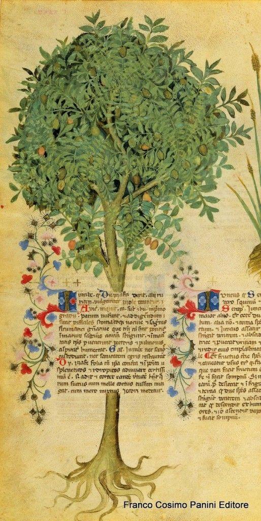 """CONSIGLI DAL MEDIOEVO: LE GIUGGIOLE - """"Le giuggiole nutrono poco, ma si usano perché umettano il petto e i polmoni. Il succo cotto con il miele mitiga la tosse, quando si mischia a vino puro giova il fegato"""". Dal codice """"Historia Plantarum"""", fine XIV secolo."""