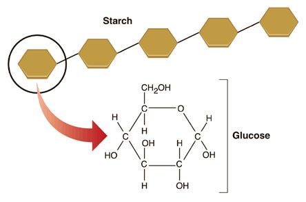 Is starch a carbohydrate?