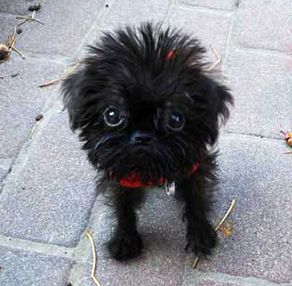 This maybe my next dog...black brussels griffon