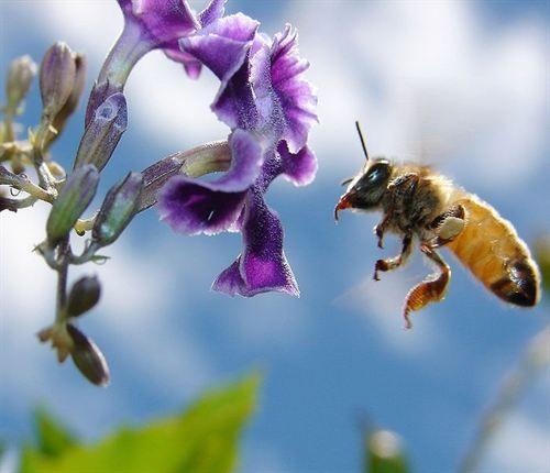 #Apicultura Nutrición de las abejas http://aga.cat/index.php/ca/articles/articles-d-interes/malaties-tractaments/423-nutricio-de-les-abelles Metakey: Nutrición, nutriciò, abellas, abejas, apicultors, apicultores, apicultura