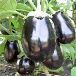 10 ошибок при выращивании баклажанов - Садоводка