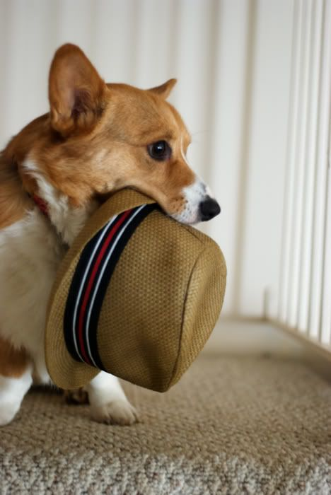 Of course I love this......: Hats, Hipster, Puppies, Best Friends, Pet, Fedoras, Dreams House, Pembroke Welsh Corgi, Little Dogs