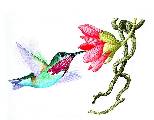 Ruby-throated Hummingbird Clip Art | RUBY -THROATED HUMMINGBIRD-ILLUSTRATION (image preview: FOT34815)