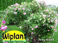 Jens Munk är blomrik rugosasort och mycket härdig. Den har långsam växt men har hos oss så småningom blivit ca 150 cm hög. Fullt härdig.