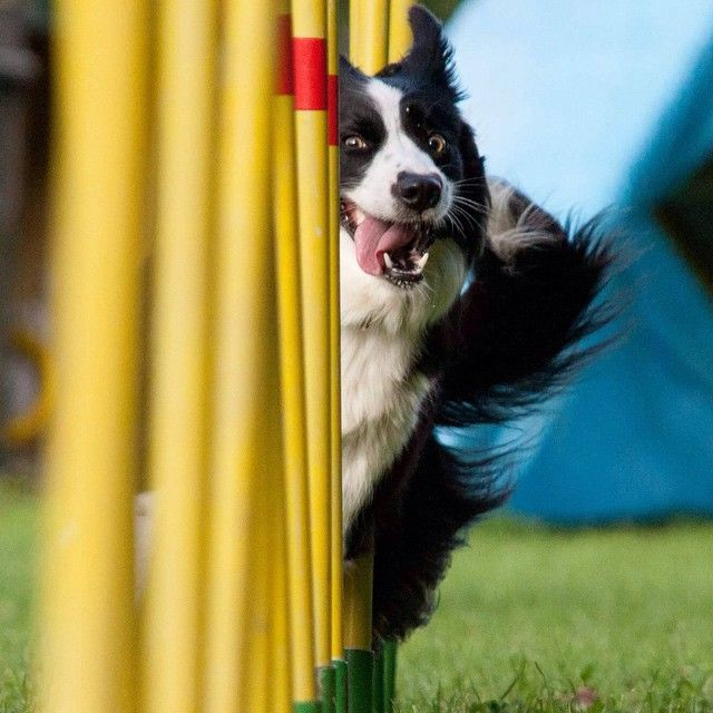 That face! Looks like fun! Border collie puppy training