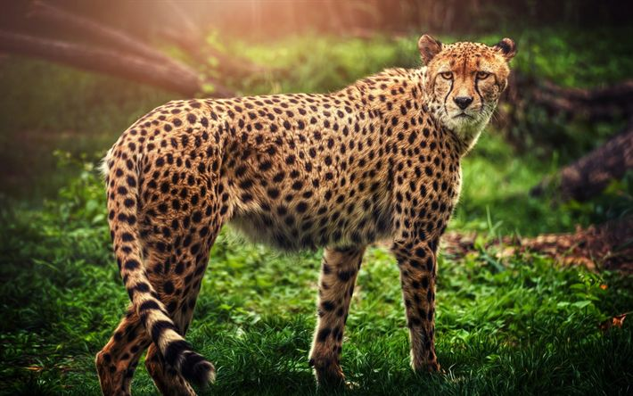 Download wallpapers cheetah, wild cat, predator, wildlife, forest