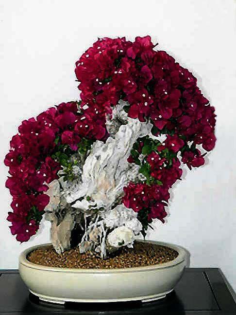 137 best images about flowers bougainvillea primavera for Bougainvillea bonsai prezzo
