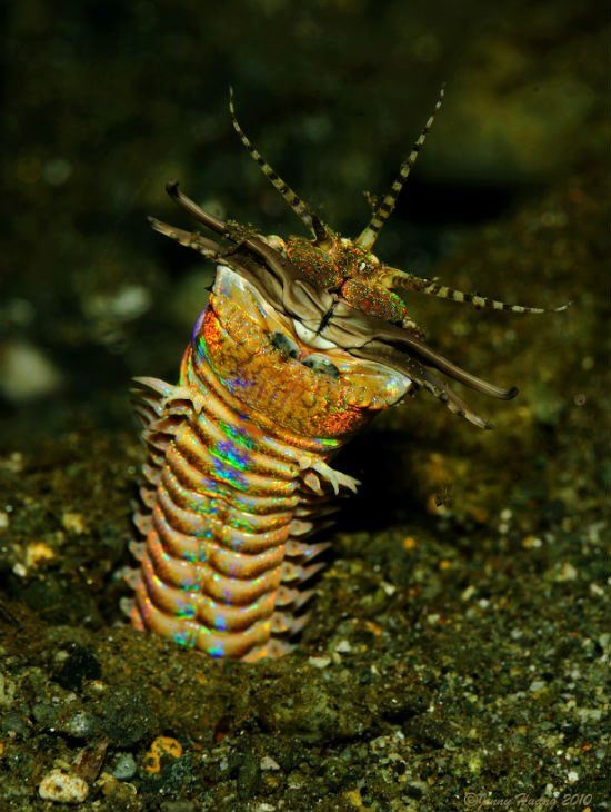 Eunice aphroditois, also known as a bobbit worm (named after Lorena Bobbitt who chopped off her husband's penis). These worms live buried in the sea floor and expose just a fraction of their very long body for hunting—they average one metre in length, but they have been recorded up to three metres long | Photo credit: Jenny Huang, Flickr; Wikimedia | http://blogs.scientificamerican.com/running-ponies/2012/10/22/eunice-aphroditois-is-rainbow-terrifying/