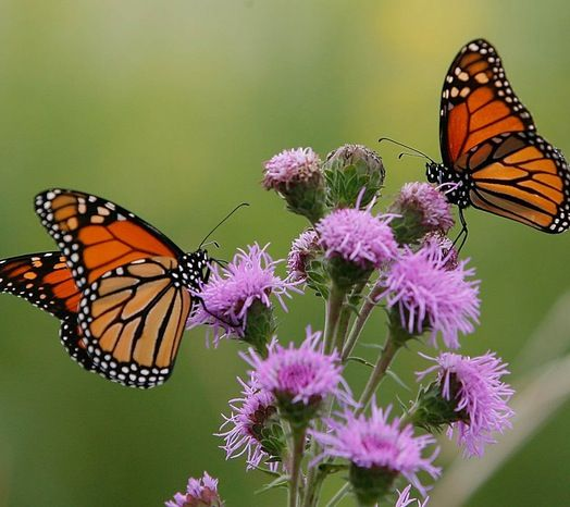 Local Plant Sales are some of the best places to snag hard-to-find butterfly plants that are pesticide-free. Check out these tips on how to be a savvy plant sale shopper...