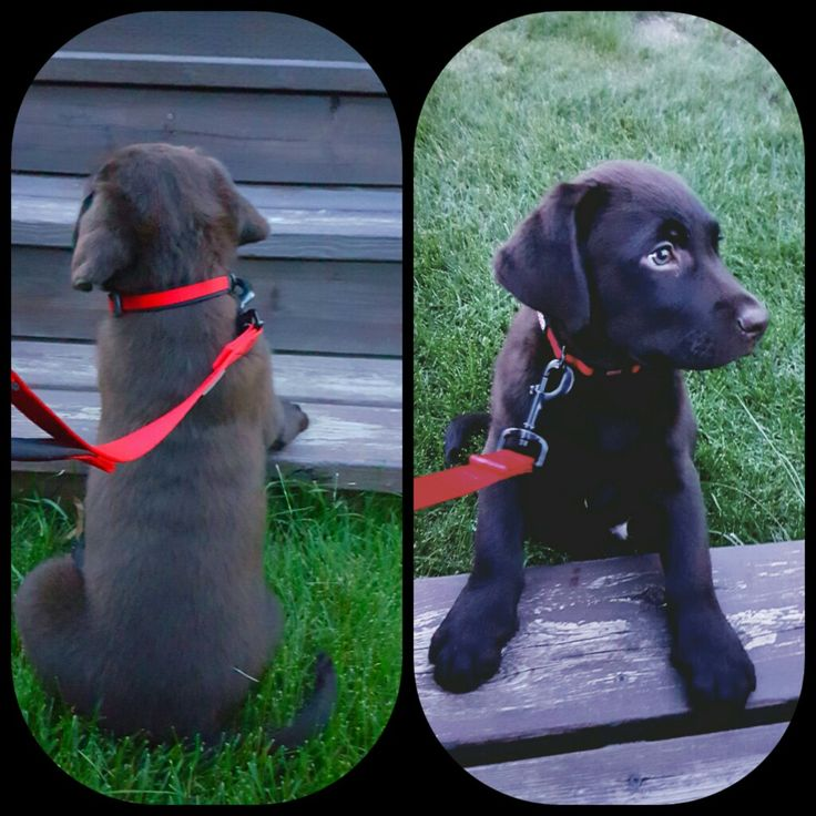 My baby boy Achilles! Chocolate lab 8 weeks old. So precious!!
