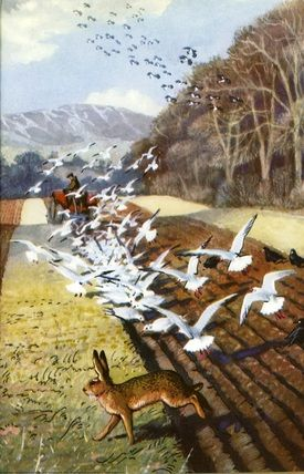 Gulls in ploughed field. Hare. Charles Tunnicliffe