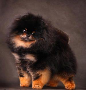 spitz - negro - cachorro