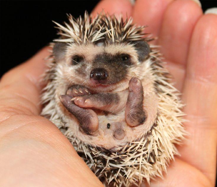 Henrys Hedgehog Haven Hedgehog Breeder in Virginia ...