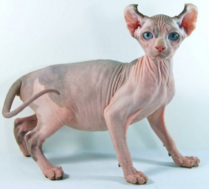 This Elf cat is sure expensive at $2,000! And that doesn't even include the free jersey or bed sheet it so obviously needs! First bred in America in 2006, these cats always surprise people with their friendly and curious manners.