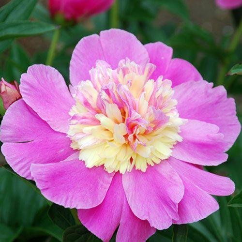 Japan Garden Flowers: 17 Best Images About Full Sun Plants On Pinterest