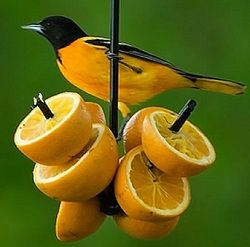Homemade Oriole Bird Food That You Can Make