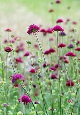 knautia has lovely burgandy blooms, great for planting among other plants and cuts well. It's a keeper.