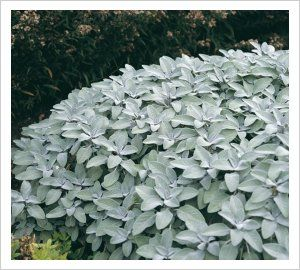 Salvia officinalis 'Berggarten' | Lambley Nursery. Ornamental variety of Sage making an evergreen sub-shrub with large intensely silver- grey leaves. Sun loving and drought tolerant. Grows 60cm x80cm.