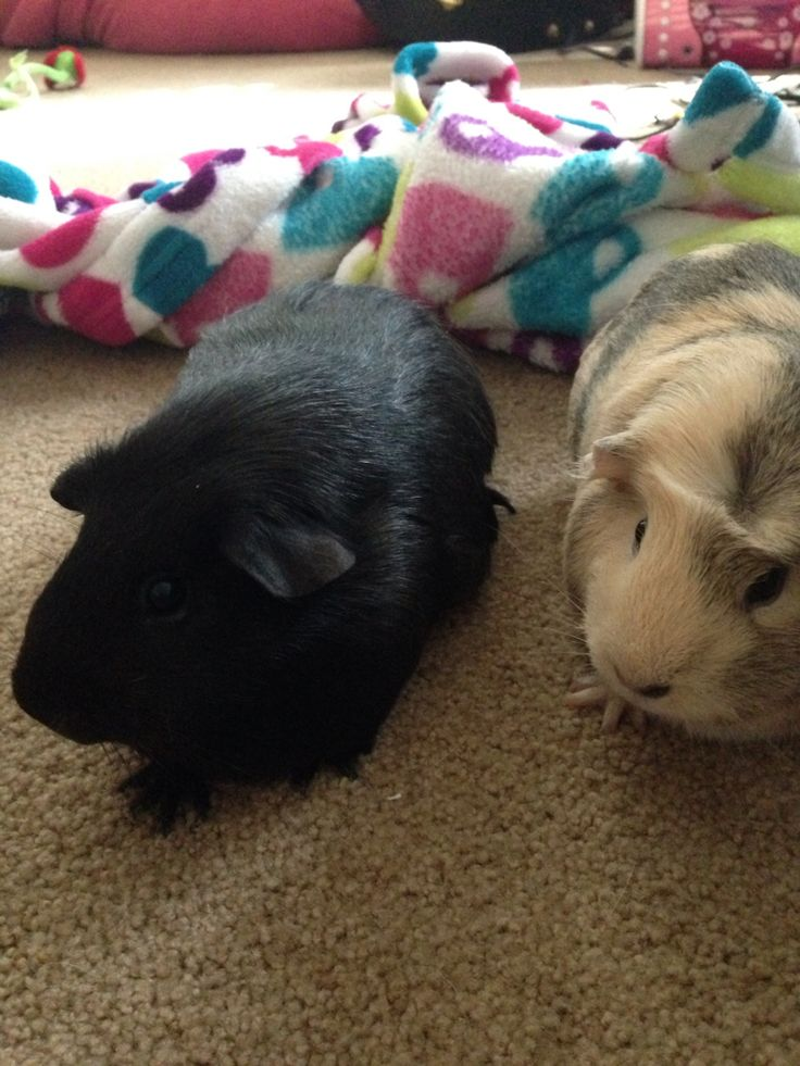 These are my Guinnie pigs.