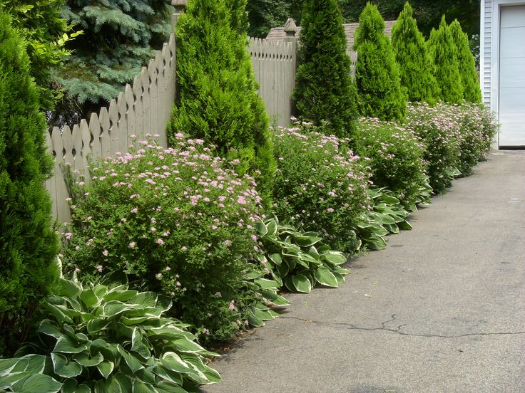 Hostas And Evergreens Lining The Driveway Fence Backyard