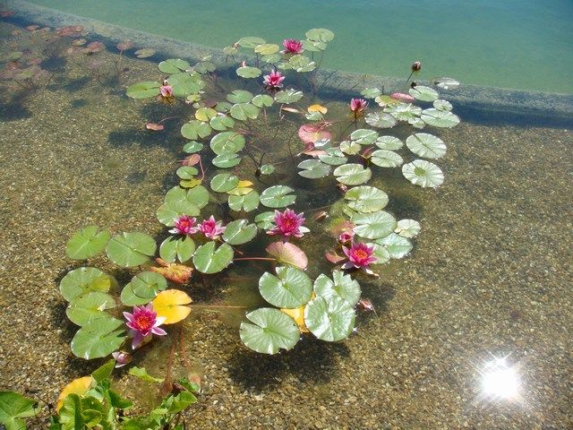 natural swimming pond plants