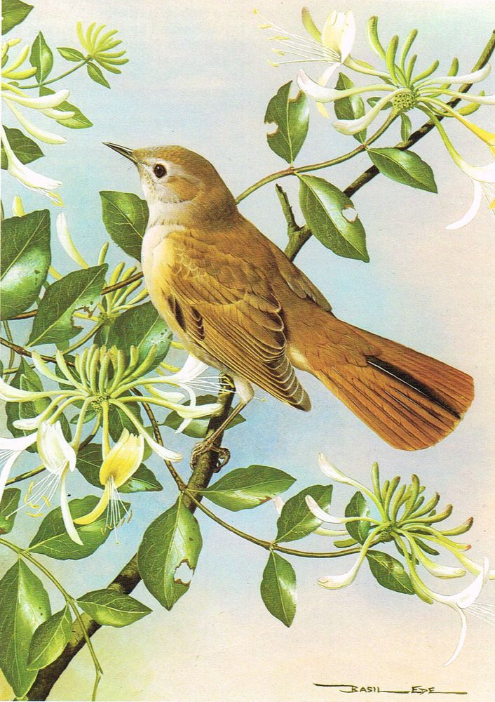Nightingale - 1980 Vintage Bird Print by Basil Ede