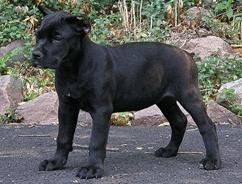 Cane Corso Puppies | Cane Corso Breeders | Cane Corso Mastiff