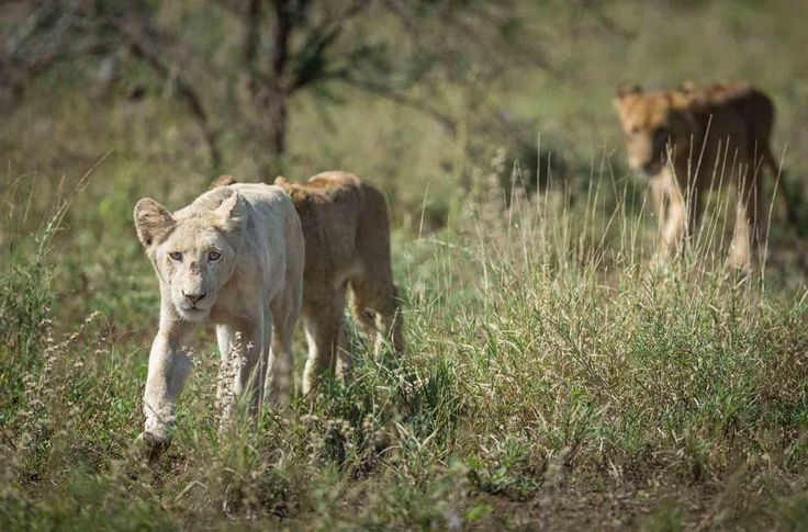 In beeld: extreem zeldzame witte leeuwen
