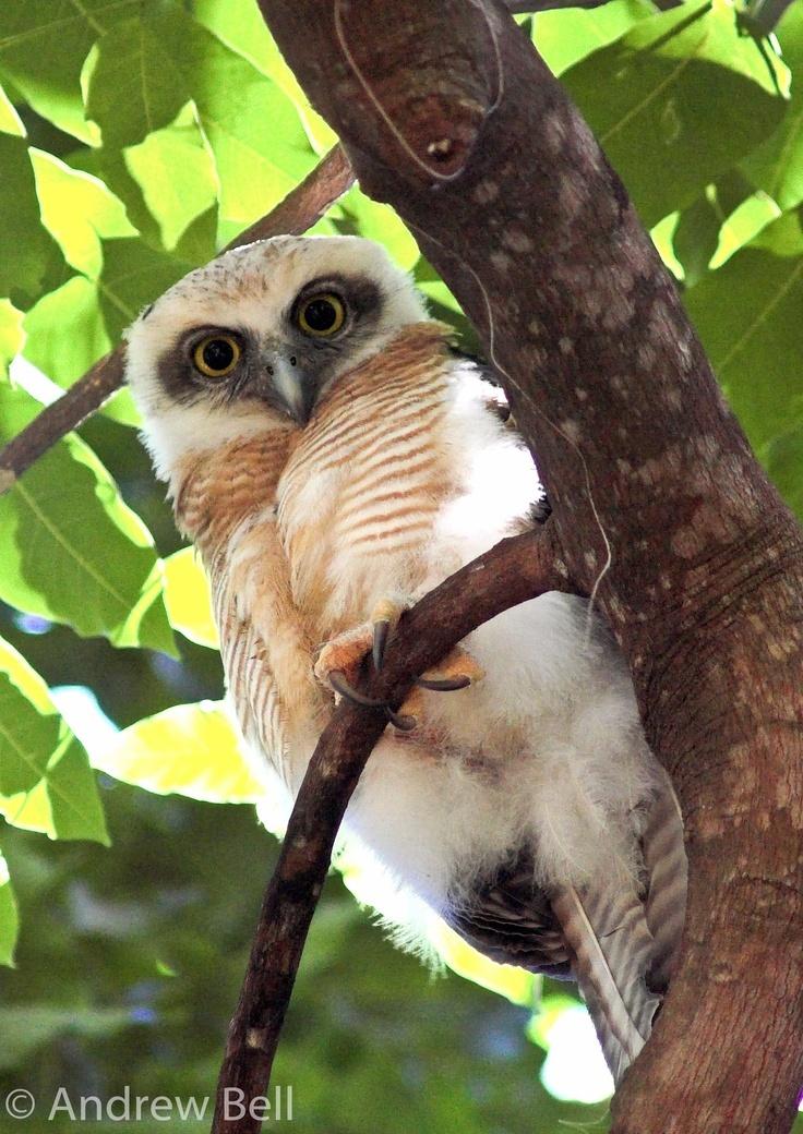 Rufous owl - photo#32