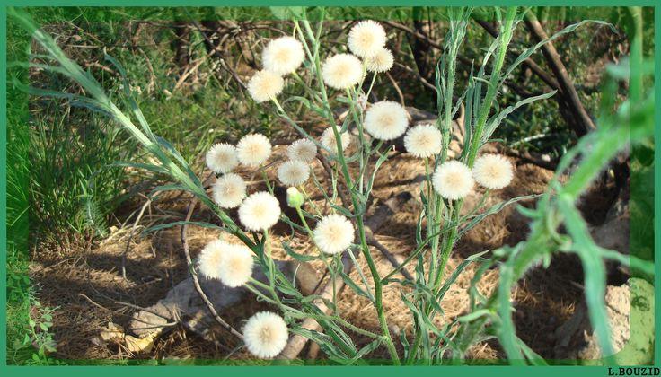Vergerette du Canada (Conyza canadensis)