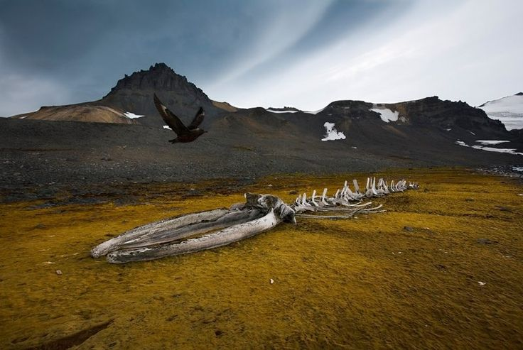 Whale Skeleton and Skua at Admiralty Bay, Antarctica. Sebastian Copeland photographer