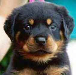 """""""Their eyebrows are sign of where God kissed a Rottweiler"""" quote by a woman who saw my own Rottweiler Buddha..."""