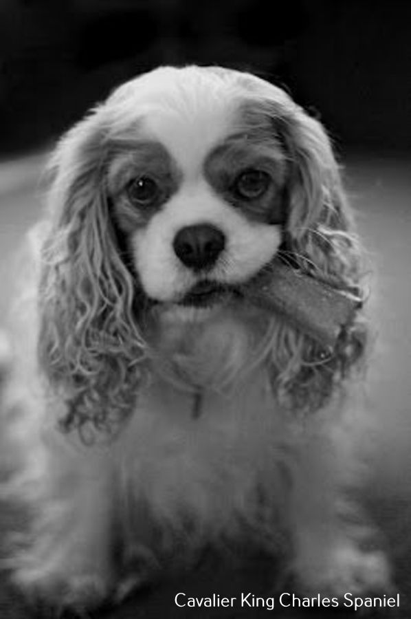 Cavalier King Charles Spaniel Grooming Puppys In 2020 Cavalier King Charles Dog King Charles Dog King Charles Cavalier Spaniel Puppy