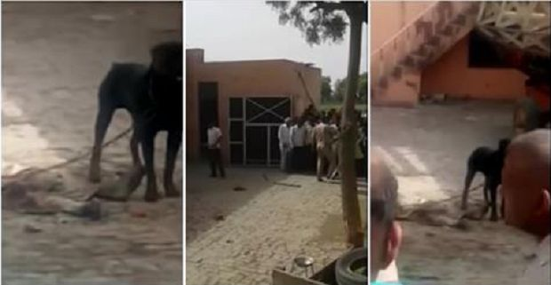 Un rottweiler en la India, mata a su dueño y lo mastica durante una hora (VIDEO) - http://www.esnoticiaveracruz.com/un-rottweiler-en-la-india-mata-a-su-dueno-y-lo-mastica-durante-una-hora-video/