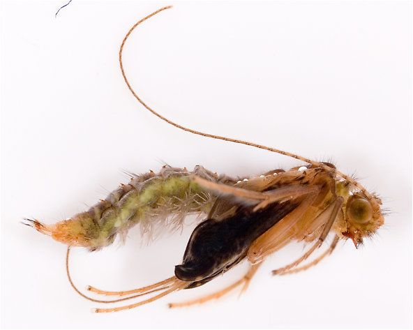 27 best trout fly tying images on pinterest fly tying for Fly fishing entomology