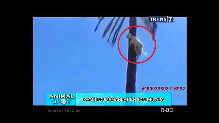 On The Spot - Kucing Lucu Berebut Susu & Kambing Manjat Pohon Kelapa