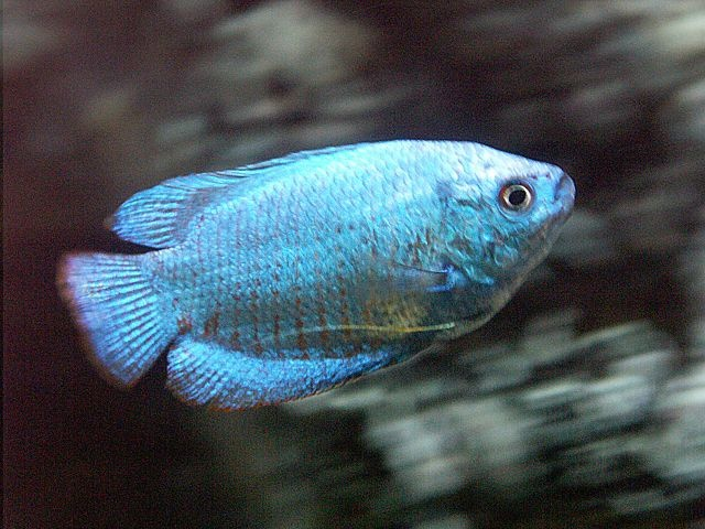10 best images about fish on pinterest field notes for Blue freshwater fish
