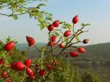 Health Benefits of Rose Hip / Rosehip