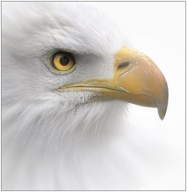 1442 best ALL EAGLES PICS images on Pinterest | Bald eagles ...