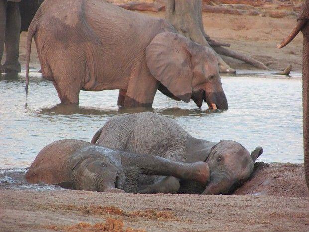 Playful youngsters at Broken Rifle Pan #Hwange #safari #elephants