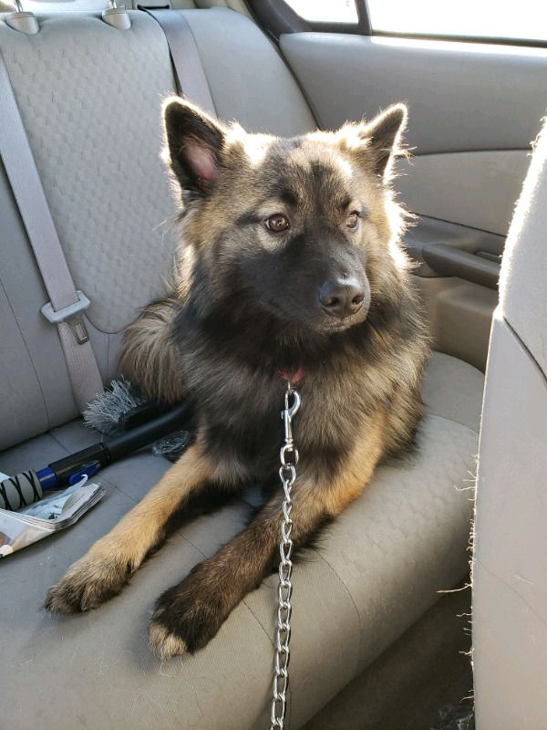 10 Mth Keeshond Chowchow Mix Dogs Puppies For Rehoming St