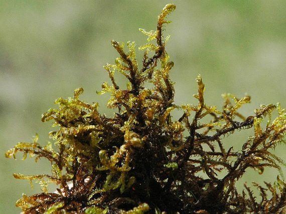 srpnatka fermežová (HAMATOCAULIS VERNICOSUS) V ČR se vyskytuje roztroušeně až vzácně.  Na nenarušených nebo jen minimálně narušených rašelinných loukách v pahorkatinách a předhořích. Rostliny středně velké až robustní. Tobolka vodorovná. Zranitelný druh.