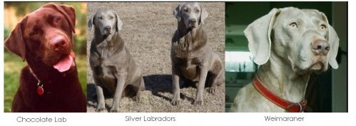 Do not fall for the Rare Silver Lab bit when buying a dog. Dogs should not be bred for Color! Not only that breeders should not charge more for color, it devalues the other dogs as not being good enough. Also just because the dog is registerd with the AKC does not mean much considering I could infact register my yellow lab as a black or chocolate lab and no one would be the wiser. Also the Labrador Retriever Club Inc. Does not recoginze silvers they see them as desginer dogs. So do not…