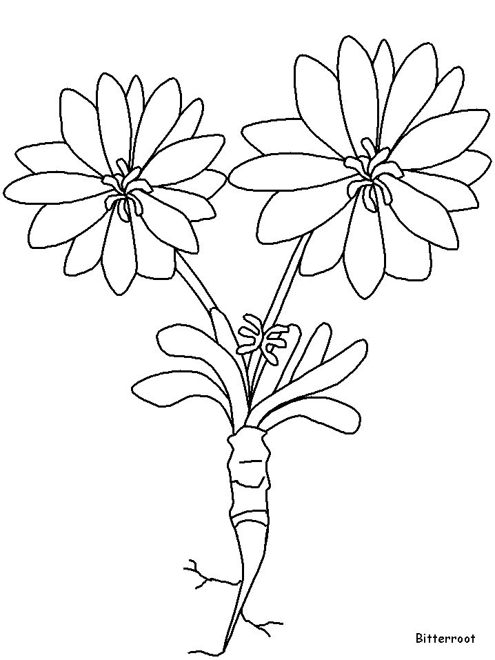 Bitterroot Flower Sketch 25 best Coloring Pages...
