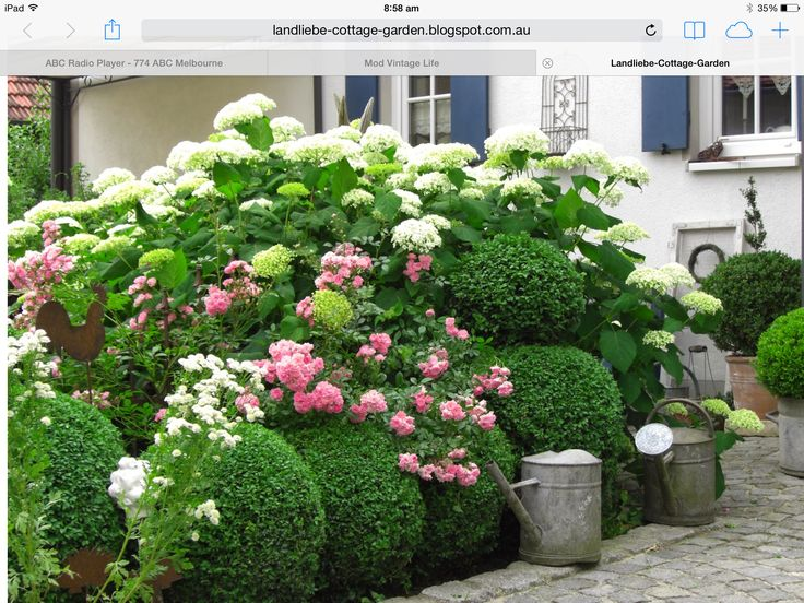 Hydrangeas and roses with clipped boxwood