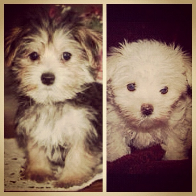 Morkie And Maltese Pets