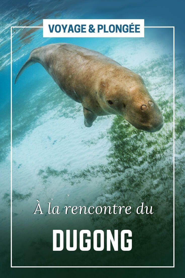 Le Dugong Est Une Drole De Sirene Alor Indonesie Voyage