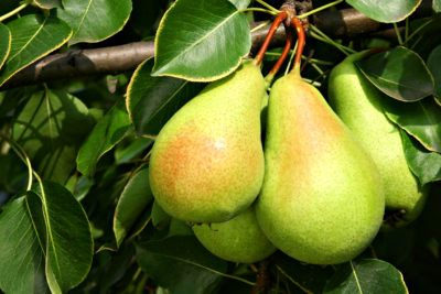 Zone 4 Pears: Pear Trees That Grow In Zone 4 Gardens -  While you may not be able to grow citrus trees in the cooler regions of the United States, there are a number of cold hardy fruit trees suited to USDA zone 4 and even zone 3. Pears are ideal. Learn more about zone 4 pear trees in this article.