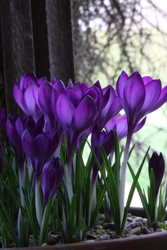 crocus - spring has arrived